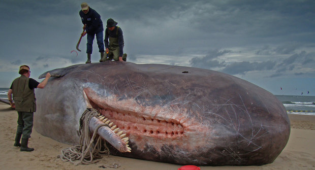 Velryby na pláži: Jak předejít tragédii?