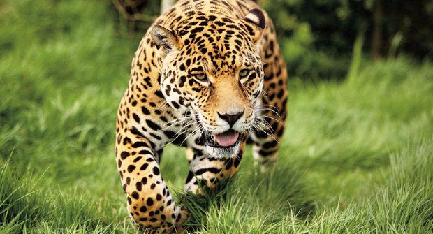 Zlato a rtuť: Nebezpečí pro jaguáry