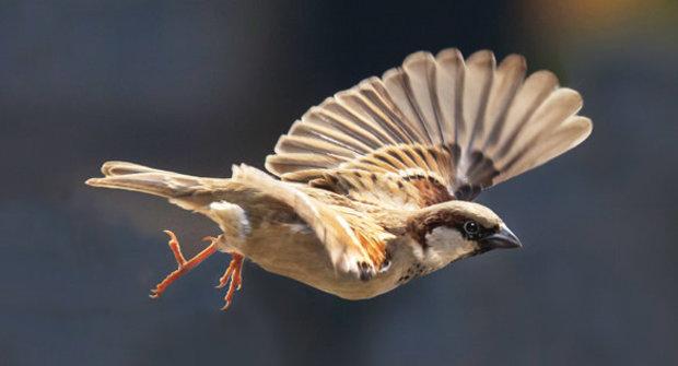 Záhadní vrabci: Proč zmizeli z měst?