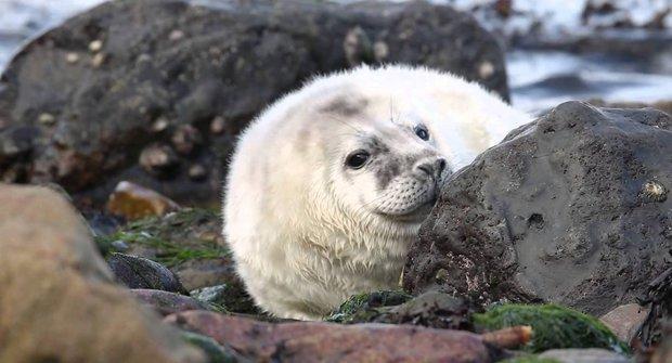 Písek i skály: Tuleni mají těžký start do života