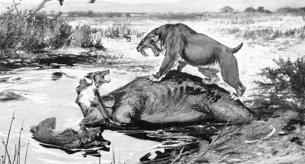 Kosti smilodonů: Šavlozubý tygr měl těžká koťátka
