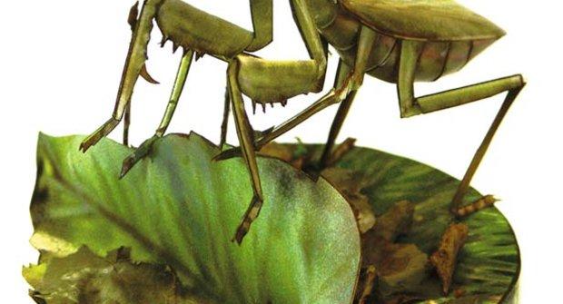 Naši hmyzí velikáni 4 - Kudlanka nábožná