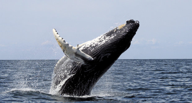 Velryby z výšky: Drony provozují whalewatching