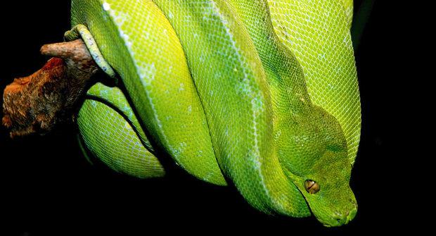 Krajta krajtu nežere: Obětavé hadí matky