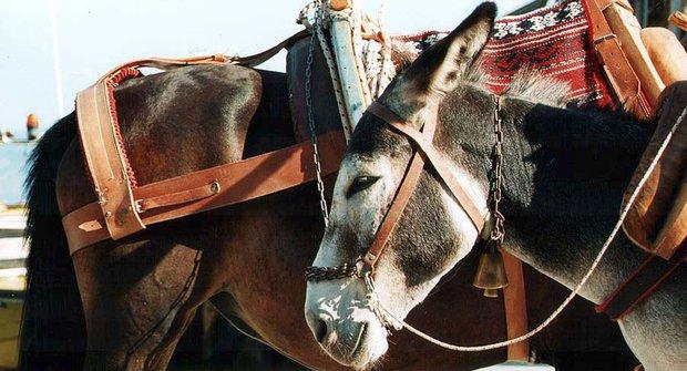 Ušatí siláci: Odolní osli