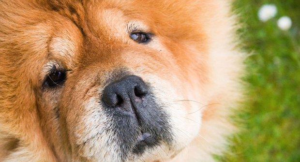 Psí plemena pod drobnohledem: Čau čau, červený lev s modrým jazykem