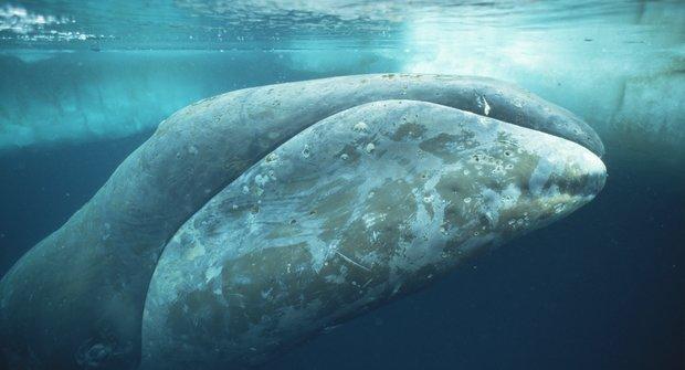 Megapodrbání: Jak velryby mění kůži
