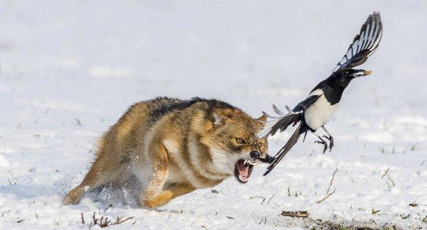 Šakal versus straka: Neúspěšný lov