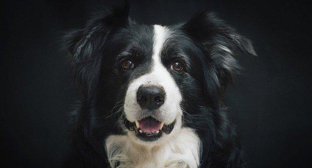 Psí plemena: Border kolie, nejinteligentnější pes