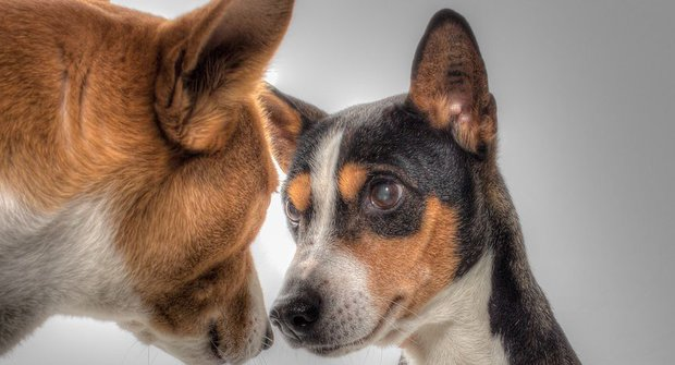 Psí plemena: Basenji, čistotný jako kočka