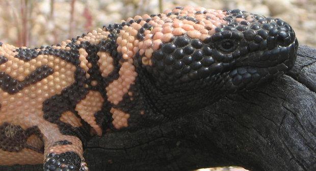 Korovec: Pouštní ještěr recykluje moč