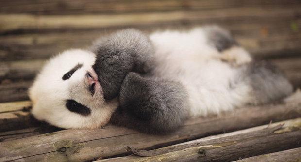 Foto ABC: Jakou barvu má panda?