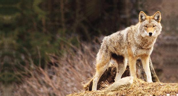Nejúspěšnější šelma: Jak kojoti ovládli Ameriku