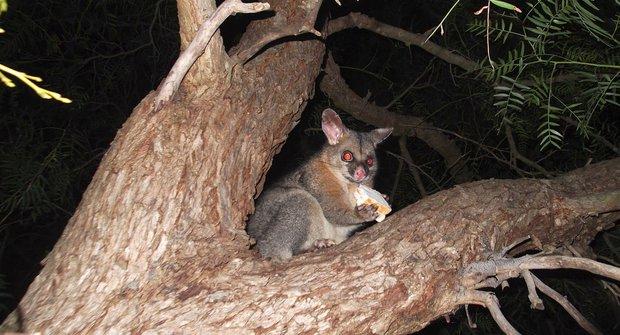 Divné zvíře z ostrova lemurů: Napůl veverka, napůl datel