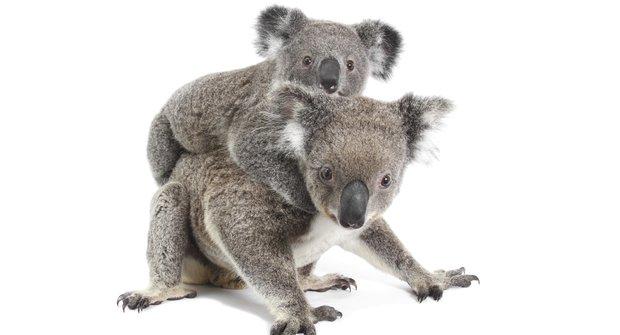 Chlupatí superhrdinové: Přečtený genom koalů