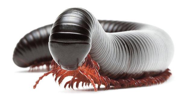 Jed na parazity: Čím se léčí lemuři