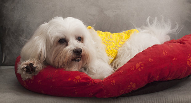 Psí plemena: Maltézský psík, nejstarší pes světa