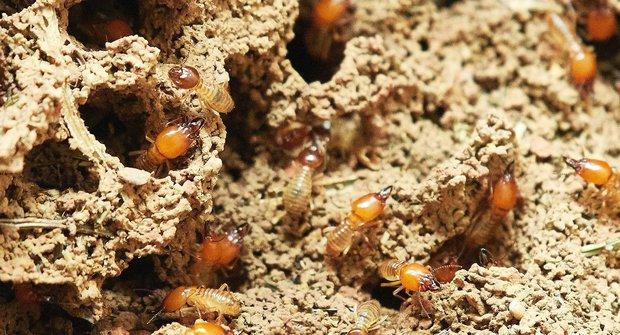 Nejstarší stavitelé: Termiti nejsou mravenci