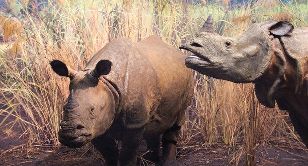 Nejvzácnější nosorožec: V ohrožení tsunami