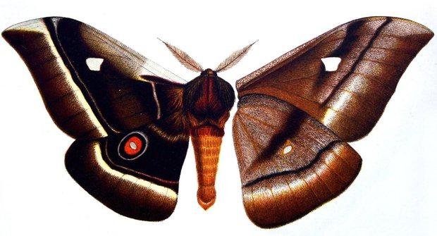 """""""Chlupatý"""" obr martináč: Největší motýl na světě"""