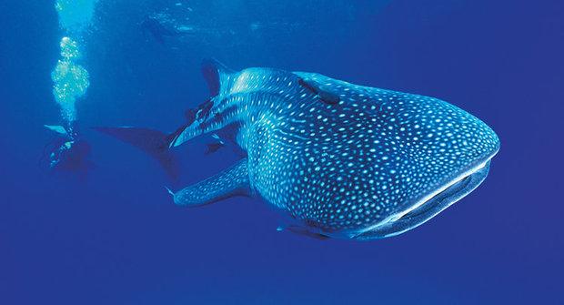 Ohrožený obr: Žralok, který nekouše