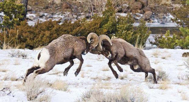 Tvrdohlavý jako beran: Ovce tlustorohé mají vyztužené nárazníky