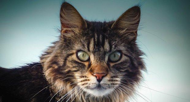 Kočičí plemena: Mainská mývalí kočka je největší kočka na světě