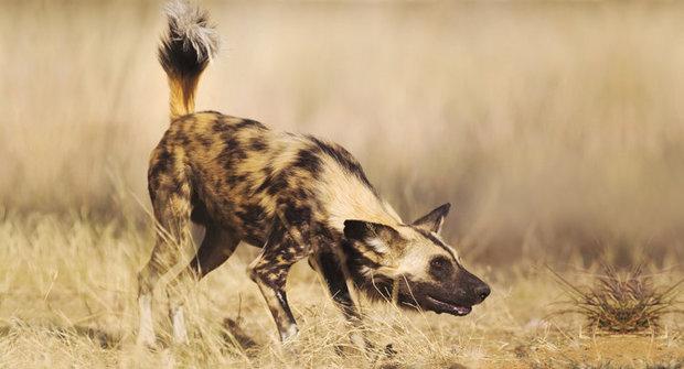 Vyhnáni zráje: Zmizení psů hyenovitých