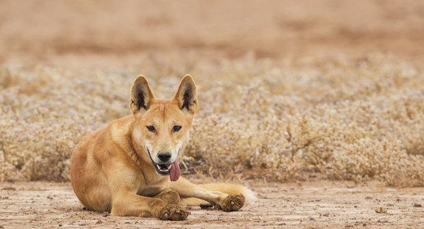 Dingo je dingo: Mnohaletá hádanka vyřešena