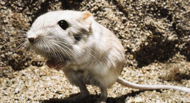 Kopající myš: Rychlejší než mrknutí oka