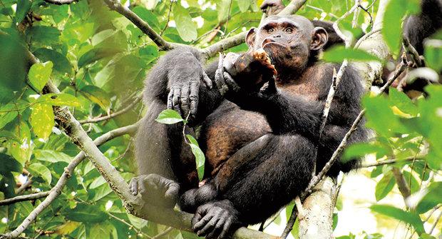 Pomůcky na míru: Nové lovecké techniky šimpanzů