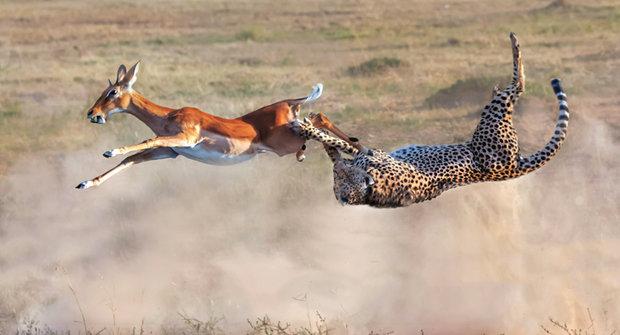 Impala versus gepard: Skok o život