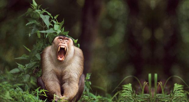 Opice na palmových plantážích už neškodí ale pomáhají