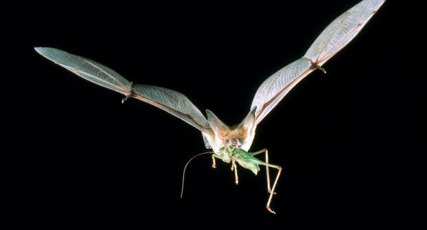 Létající špioni netopýři se sledují a odposlouchávají