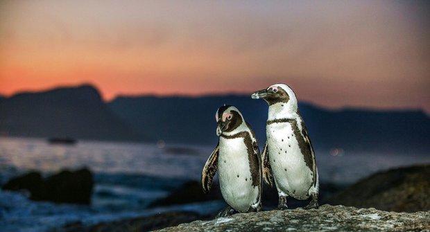 Tučňáci dodržují lingvistická pravidla - stejně jako lidé