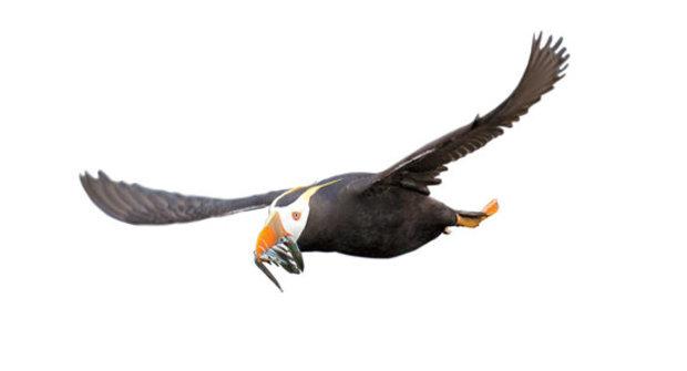 Tajemství papuchálků: Desítky kilometrů nalétají díky mega zobáku