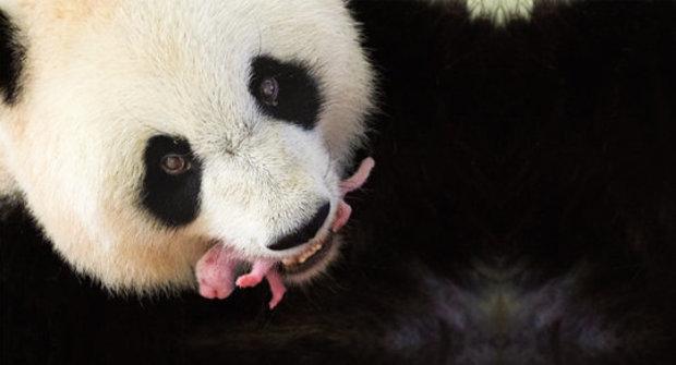 Záhada novorozených pand: Proč jsou mláďata rekordně malá?
