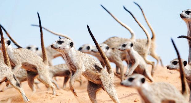Nebezpečné surikaty: Panáčkující agresoři si jdou po krku!