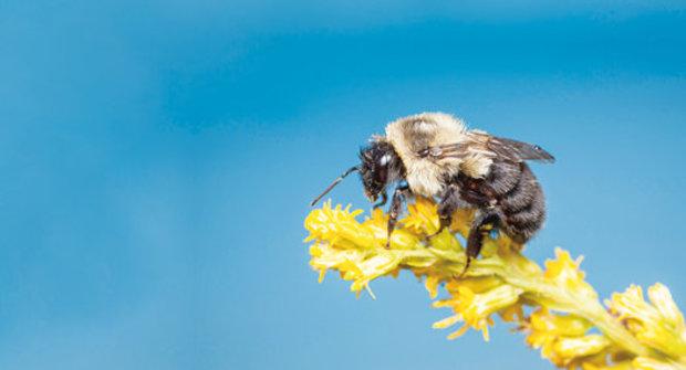 Alergičtí čmeláci: Hrozí jim smrt místo rýmy a uslzených očí