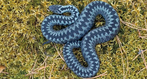 Neviditelná zmije: Pozor na jedovatého mistra optického klamu