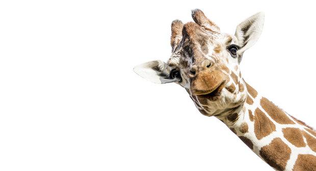 Svět z prvního patra: Jak se žije žirafám?