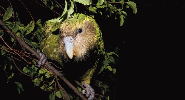 Záhadní papoušci z temnot jsou jako noční duchové