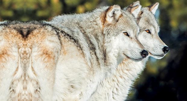 Ekologické šelmy: Jak vlci zachránili vrby v Yellowstonu