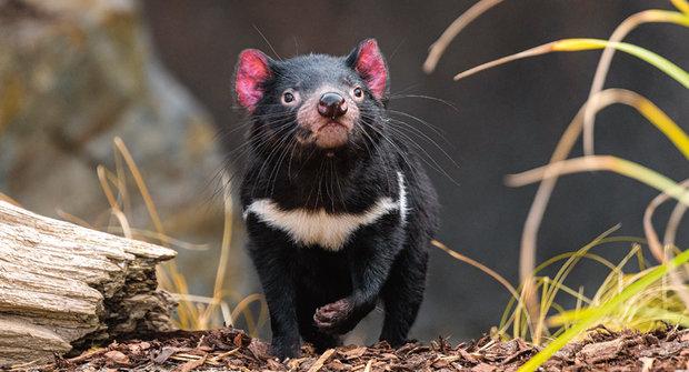 Ďáblové v zoo: Roztomilí čerti z australské Tasmánie