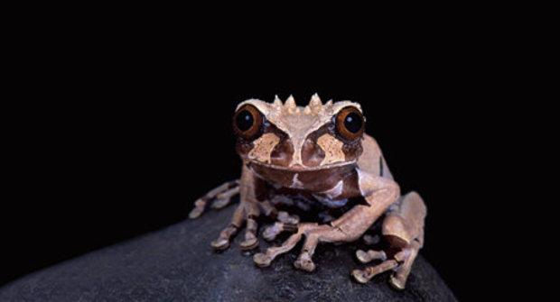 Tajemství žab s dračími lebkami: Proč vypadají jako od dinosaurů?