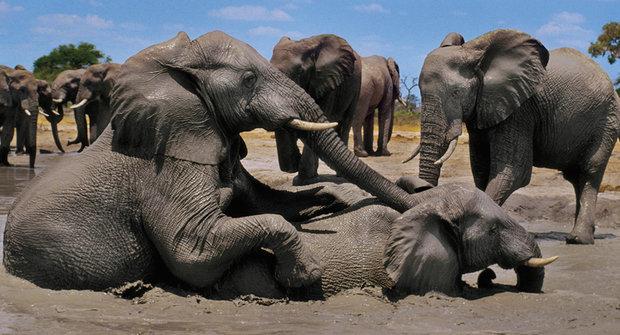 Nový objev: Staří sloni jsou nenahraditelní