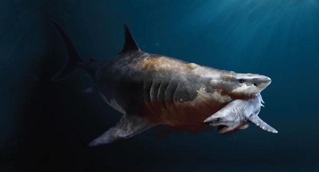 Jak velký byl megalodon? Postrach oceánu nezklamal!