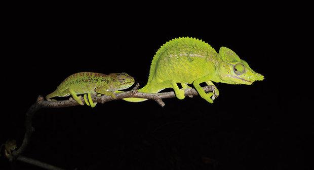 Chameleon, který se sto let skrýval, konečně nalezen!
