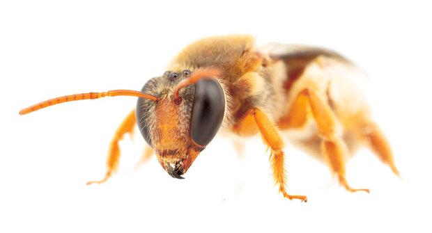 Noční včely: Přistižení opylovači se neřídí denním světlem