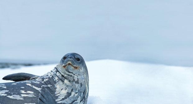 Ultrazvuk pod ledem odhalil Hvězdné války mezi tuleni